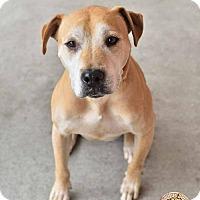 Adopt A Pet :: Juno-Canine Good Citizen - Mt. Vernon, IN
