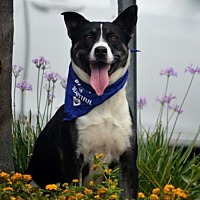 Adopt A Pet :: Jolie - Downey, CA