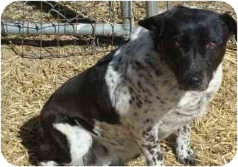 Blue Heeler/Jack Russell Terrier Mix Dog for adoption in Pie Town, New Mexico - MISSY