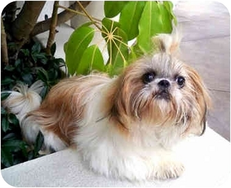 Shih Tzu Puppy for adoption in Los Angeles, California - PIPER