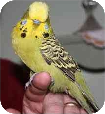 Budgie for adoption in Lenexa, Kansas - Star