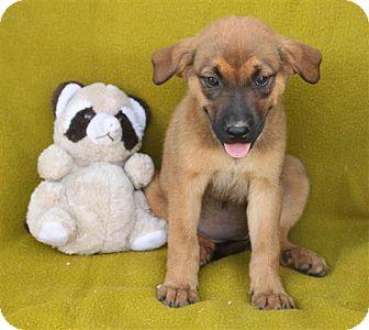 German Shepherd Dog Mix Puppy for adoption in Salem, New Hampshire - Burgundy