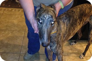 Greyhound Dog for adoption in Pearl River, Louisiana - Face