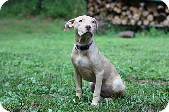 American Pit Bull Terrier/Labrador Retriever Mix Puppy for adoption in Reisterstown, Maryland - RJ
