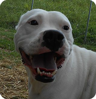 Pit Bull Terrier Mix Dog for adoption in Murphysboro, Illinois - Snowflake