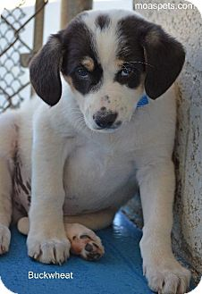 Great Pyrenees/Pointer Mix Puppy for adoption in Danielsville, Georgia - Buckwheat