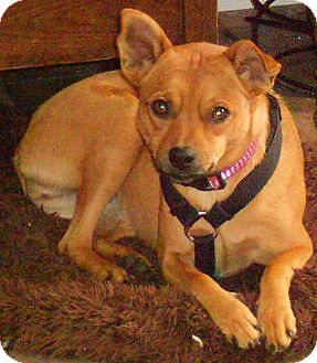 Miniature Pinscher/Chihuahua Mix Dog for adoption in Germantown, Maryland - Dora
