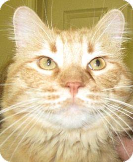 Domestic Longhair Cat for adoption in Abilene, Texas - Oliver