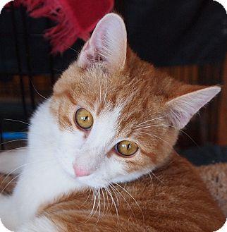Domestic Shorthair Cat for adoption in Buhl, Idaho - Neiko
