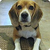 Adopt A Pet :: Daisy-2 - Portland, OR
