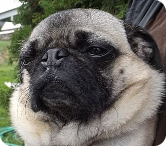 Pug Mix Dog for adoption in Grants Pass, Oregon - Lucy