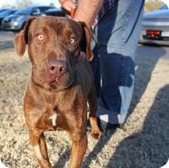 Basset Hound/Pit Bull Terrier Mix Dog for adoption in Stillwater, Oklahoma - Burt