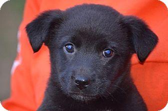 Australian Kelpie Mix Puppy for adoption in Woodlyn, Pennsylvania - Happy