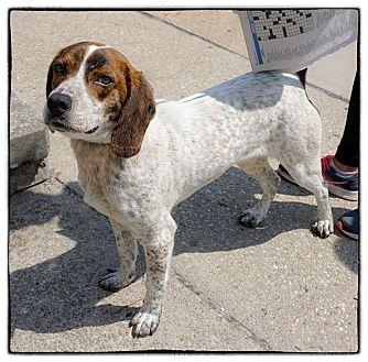 Pointer Mix Dog for adoption in Freeport, New York - Cooper