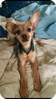 Yorkie, Yorkshire Terrier/Miniature Pinscher Mix Puppy for adoption in El Segundo, California - Lily