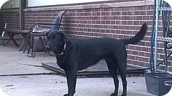 Labrador Retriever Mix Dog for adoption in Evergreen, Colorado - Harvest