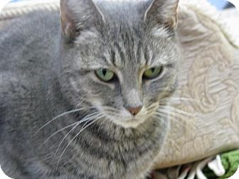 Domestic Mediumhair Cat for adoption in Orland, California - Puzzle