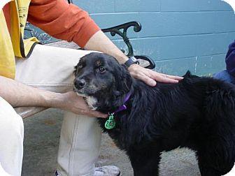 Labrador Retriever/Australian Shepherd Mix Dog for adoption in Olympia, Washington - 43219