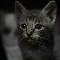 Domestic Shorthair Kitten for adoption in San Angelo, Texas - Mercury