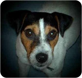 Jack Russell Terrier Dog for adoption in Louisville, Kentucky - Wren: Reduced Fee!
