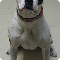 Adopt A Pet :: Samantha - Gary, IN