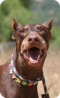Doberman Pinscher Dog for adoption in Fillmore, California - Sierra