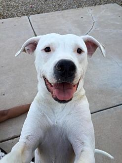 American Pit Bull Terrier Mix Dog for adoption in Tucson, Arizona - Lexi