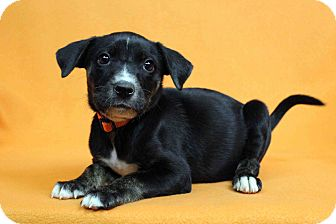 Blue Heeler Mix Puppy for adoption in Westminster, Colorado - ISLETA