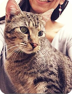 Domestic Shorthair Cat for adoption in Spring, Texas - Mantra