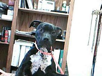 Pit Bull Terrier Mix Dog for adoption in Paradise, California - SHADOW