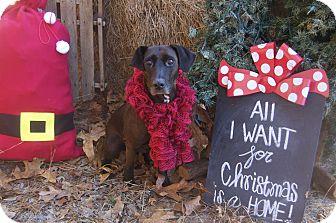 Labrador Retriever/Dachshund Mix Dog for adoption in Bishopville, South Carolina - Leelah