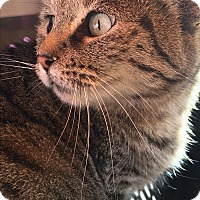 Egyptian Mau Cat for adoption in Roseburg, Oregon - Sugar