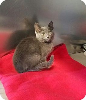 Domestic Shorthair Kitten for adoption in Manahawkin, New Jersey - Earl