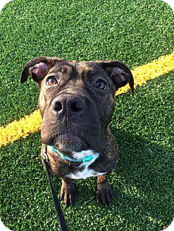 Cane Corso Mix Dog for adoption in Warrenville, Illinois - Athena
