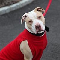 Adopt A Pet :: Zeus Wonderful Family Doggie - Rowayton, CT
