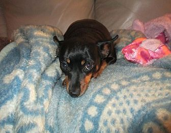 Chihuahua/Miniature Pinscher Mix Dog for adoption in Newtown, Pennsylvania - Molly & Marnie