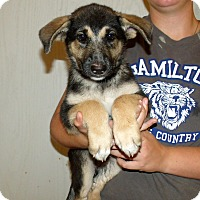 Adopt A Pet :: GSD PUPS FEMALE - Corona, CA