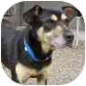 German Shepherd Dog/Doberman Pinscher Mix Dog for adoption in Woodland, Washington - Buddy