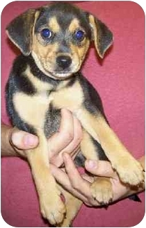 Beagle/Hound (Unknown Type) Mix Puppy for adoption in Gallatin, Tennessee - TONY