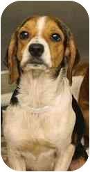Beagle Mix Dog for adoption in Sugar Land, Texas - Gwen