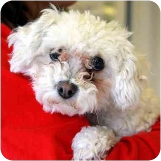 Poodle (Toy or Tea Cup) Mix Dog for adoption in Denver, Colorado - JoJo