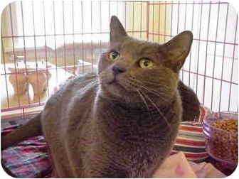 Domestic Shorthair Cat for adoption in Chesapeake, Virginia - Tigris&Euphrates 4-PAW DECLAW