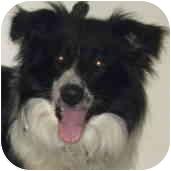 Border Collie/Old English Sheepdog Mix Dog for adoption in Minerva, Ohio - Sawyer