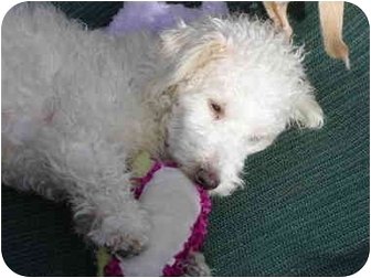 Poodle (Miniature) Mix Dog for adoption in San Marcos, California - Winston