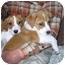 Photo 4 - Labrador Retriever/St. Bernard Mix Puppy for adoption in Naperville, Illinois - Cody
