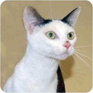 Domestic Shorthair Cat for adoption in San Clemente, California - IRIS