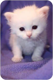Domestic Mediumhair Kitten for adoption in Union, Kentucky - Sapphire