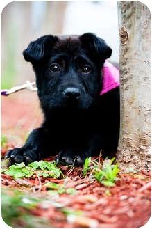 Labrador Retriever/Belgian Shepherd Mix Dog for adoption in Houston, Texas - Ella