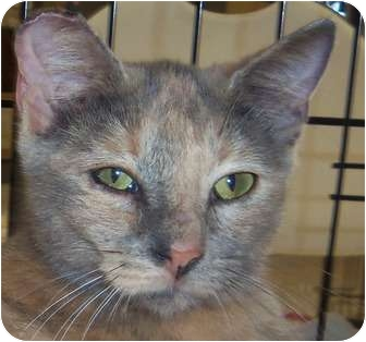 Domestic Shorthair Cat for adoption in Orlando, Florida - Swirly