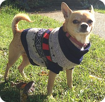 Chihuahua Mix Dog for adoption in South Haven, Michigan - Monkey